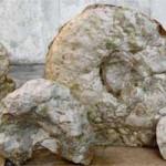 fossili ammoniti